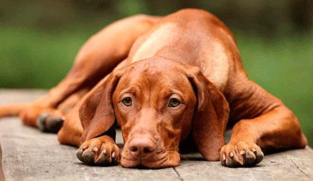 Cão doente cuidados paliativos Mauro Lantzman